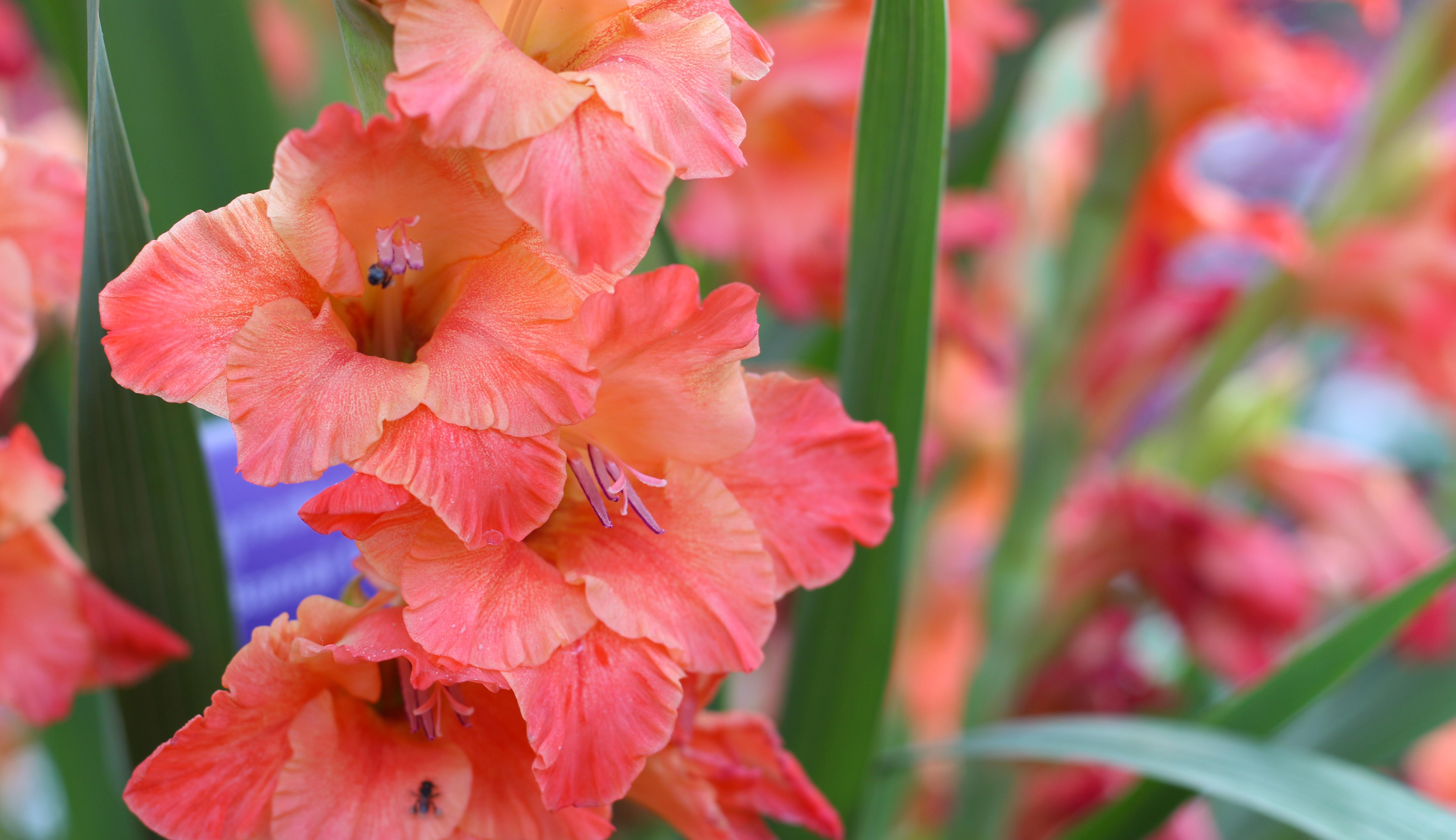 Close up image of peach gladiolus flowers.