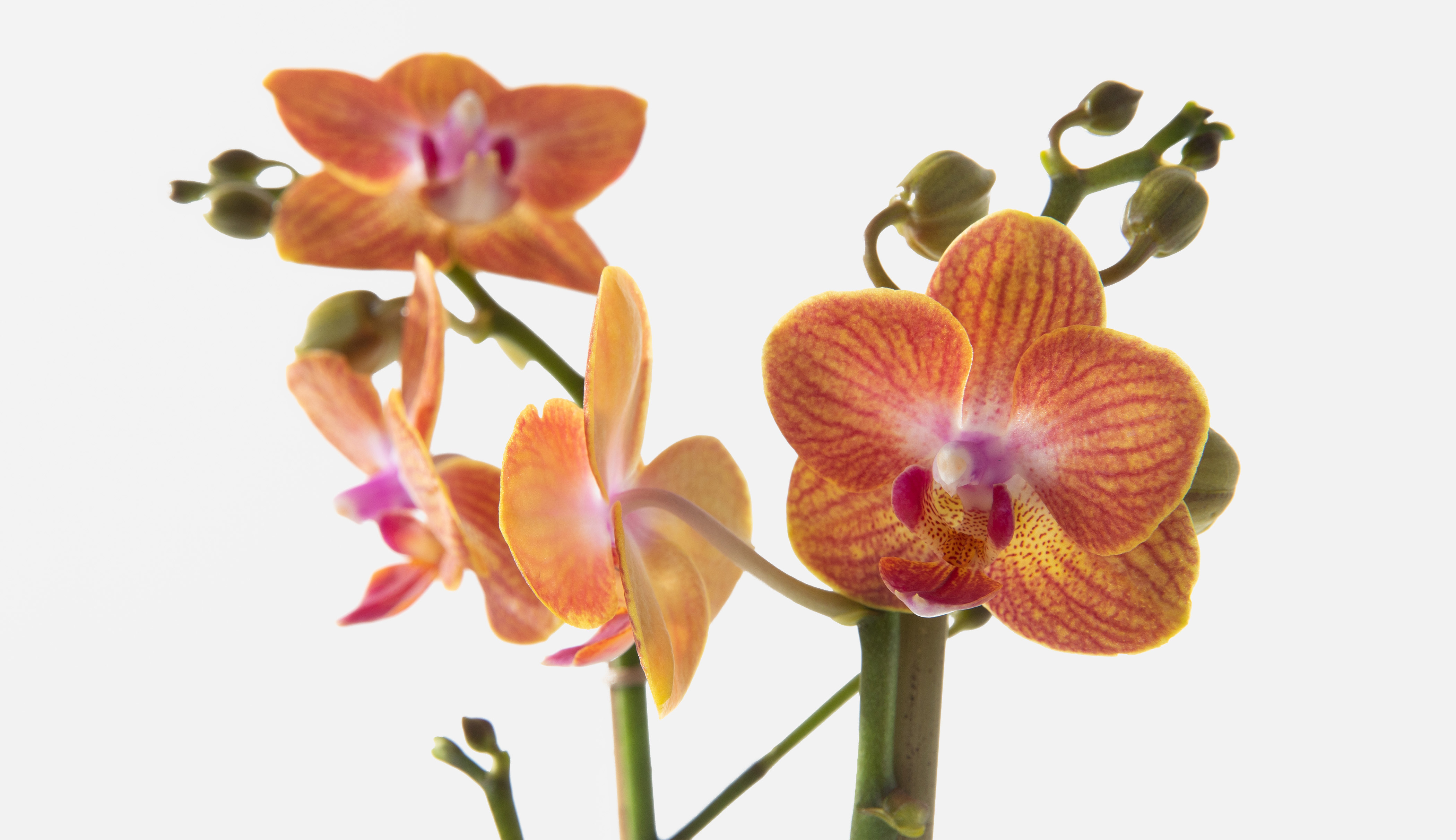 Close up or an orange orchid flower