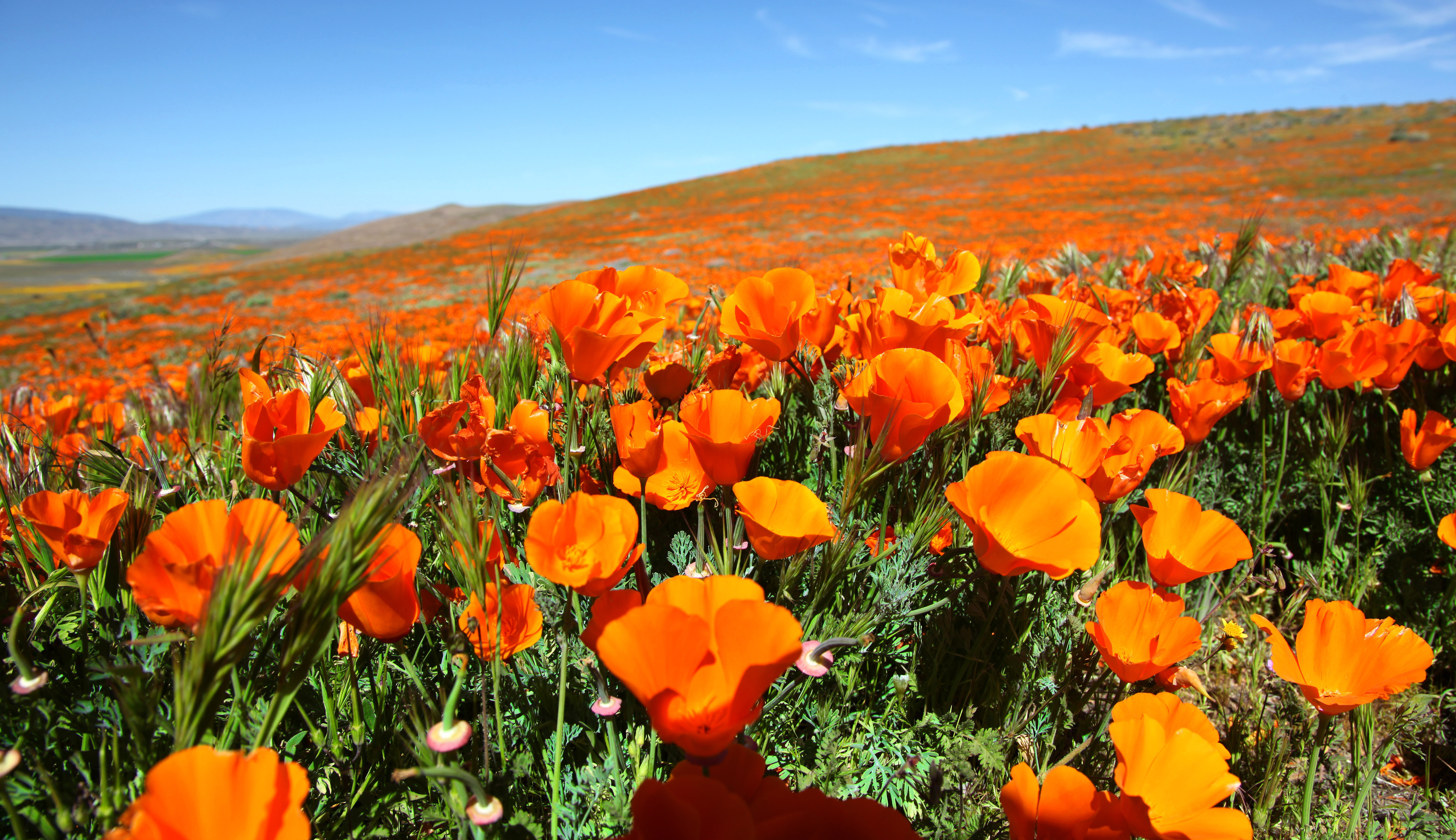 A field of California poppies
