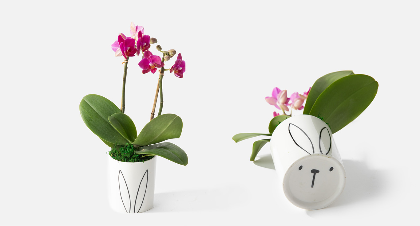 Easter orchids