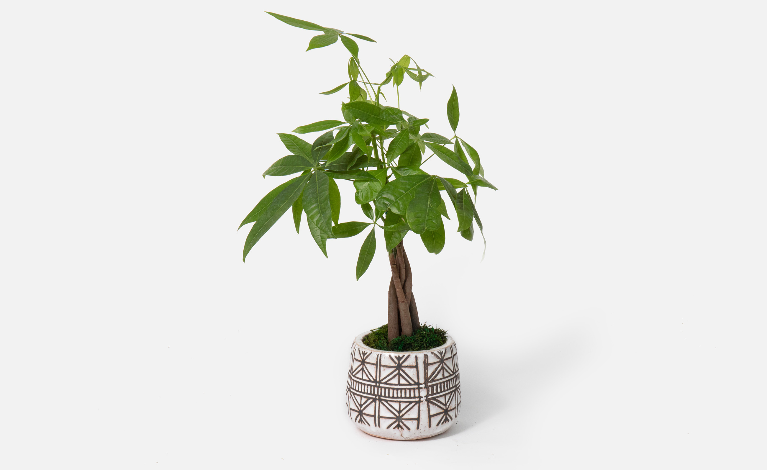 Money tree plant for Father's Day
