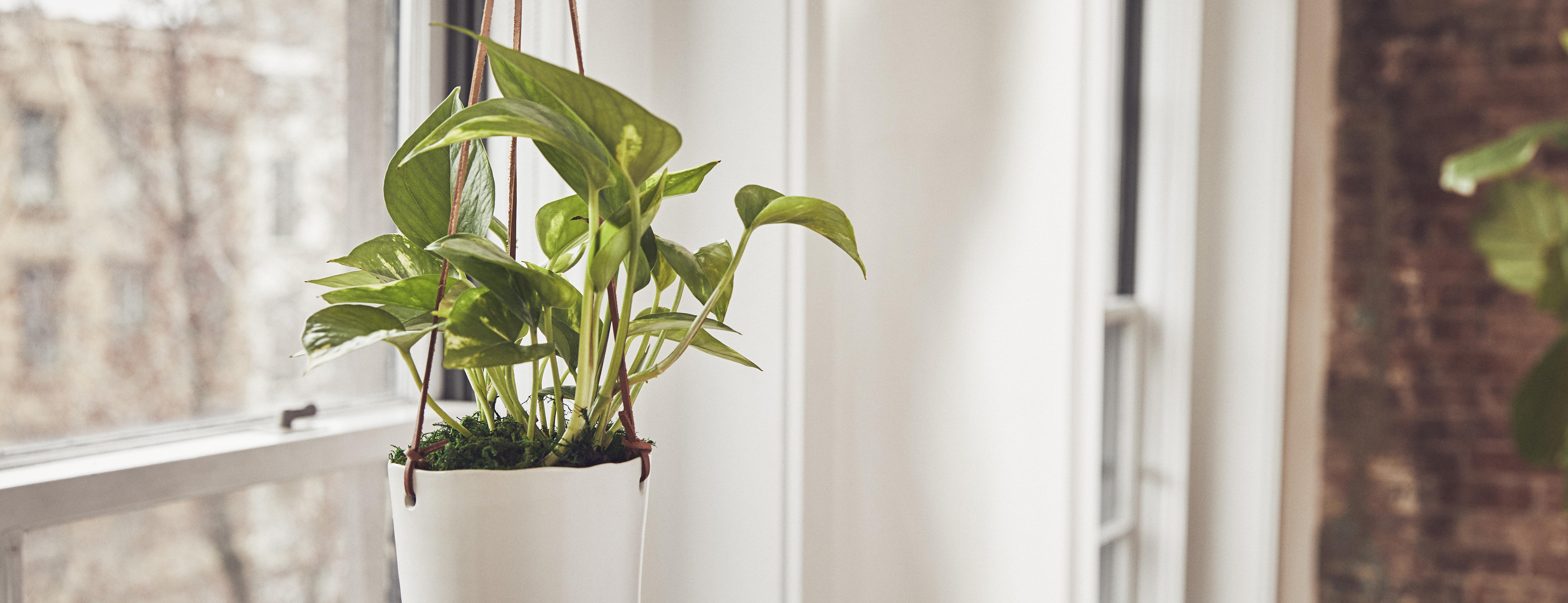 Pothos plant hanging in a sunlit window.