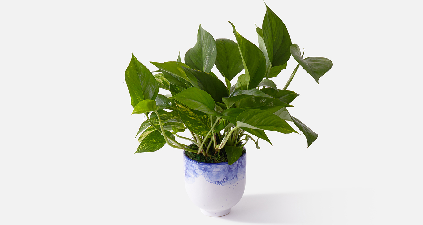 The Fresco pothos plant