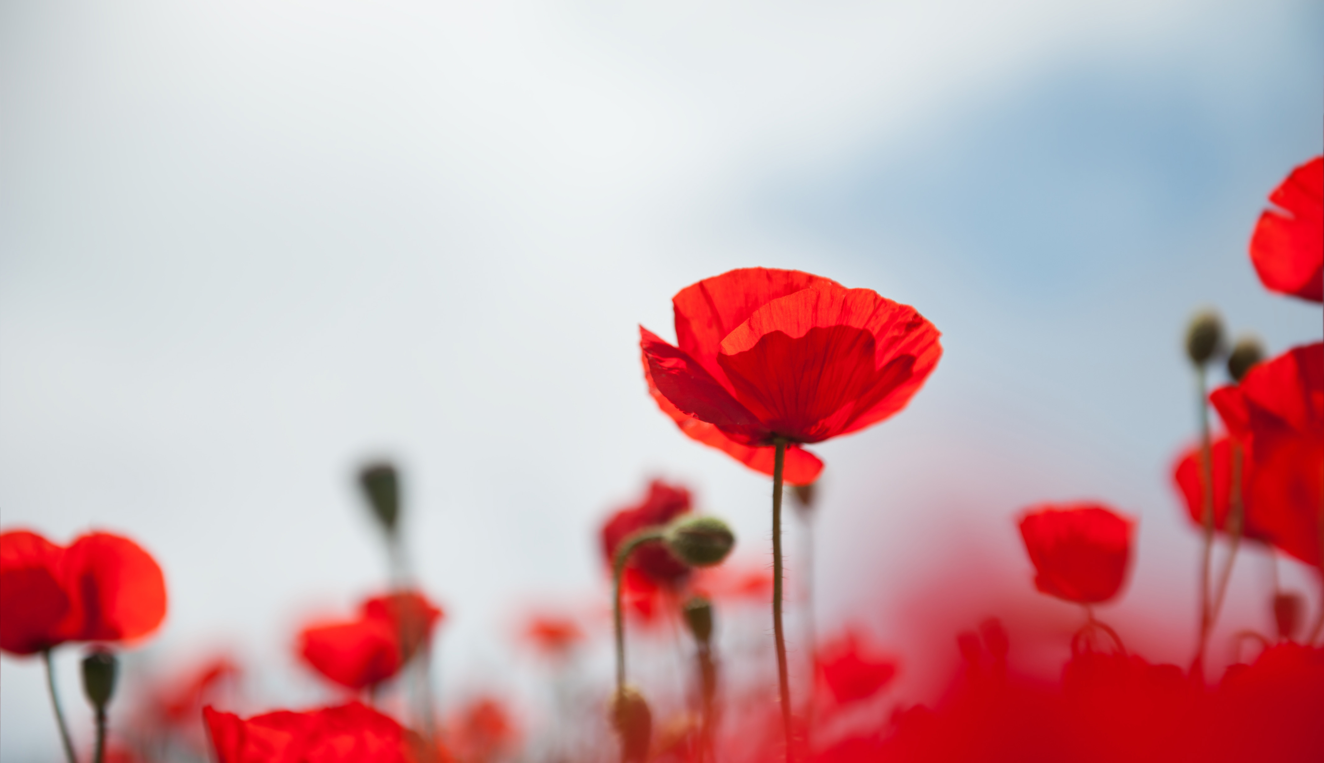 Close up of a red poppy flower in a field of poppy flowers