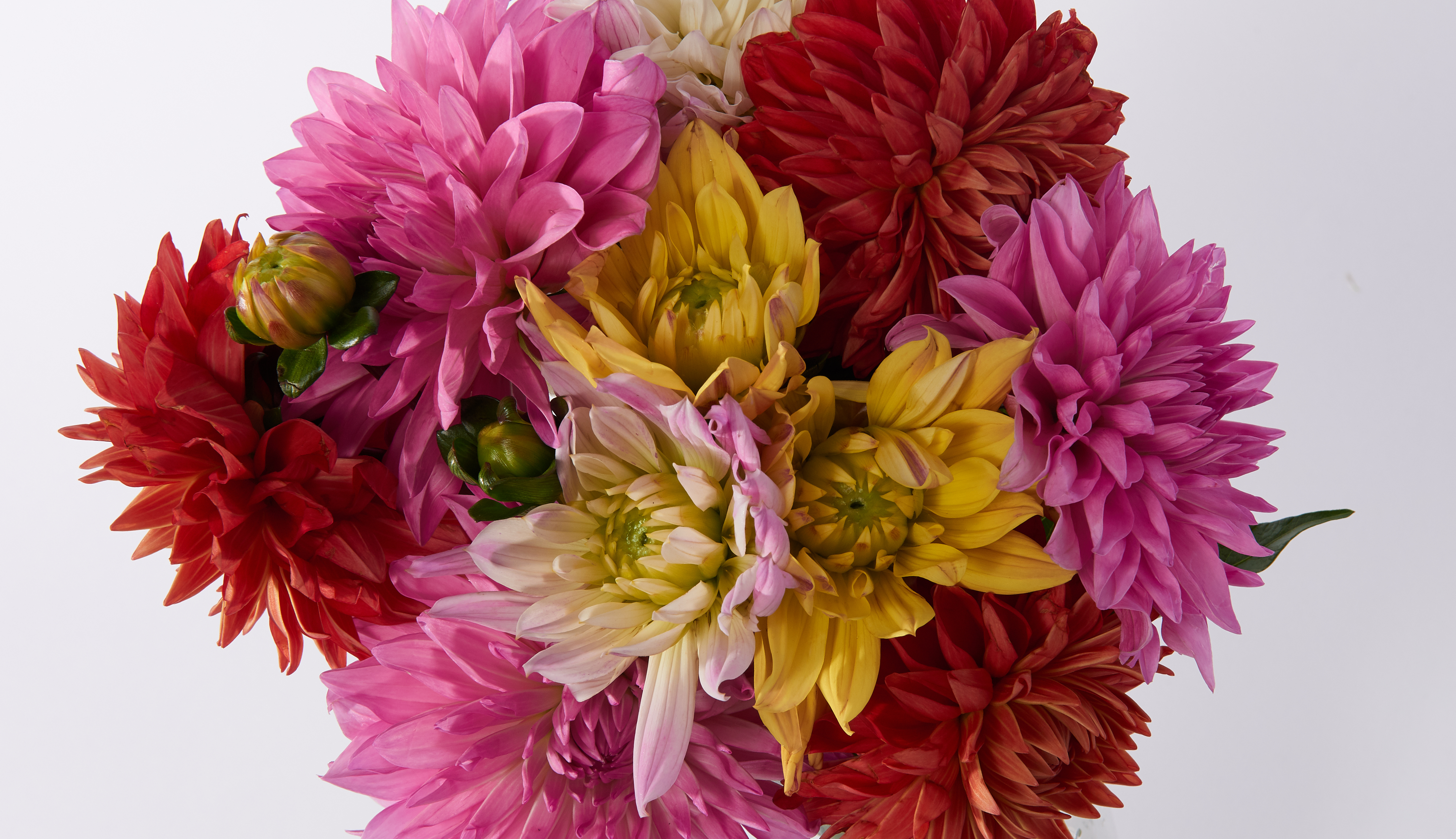 Close up of a dahlia bouquet with multicolored dahlias