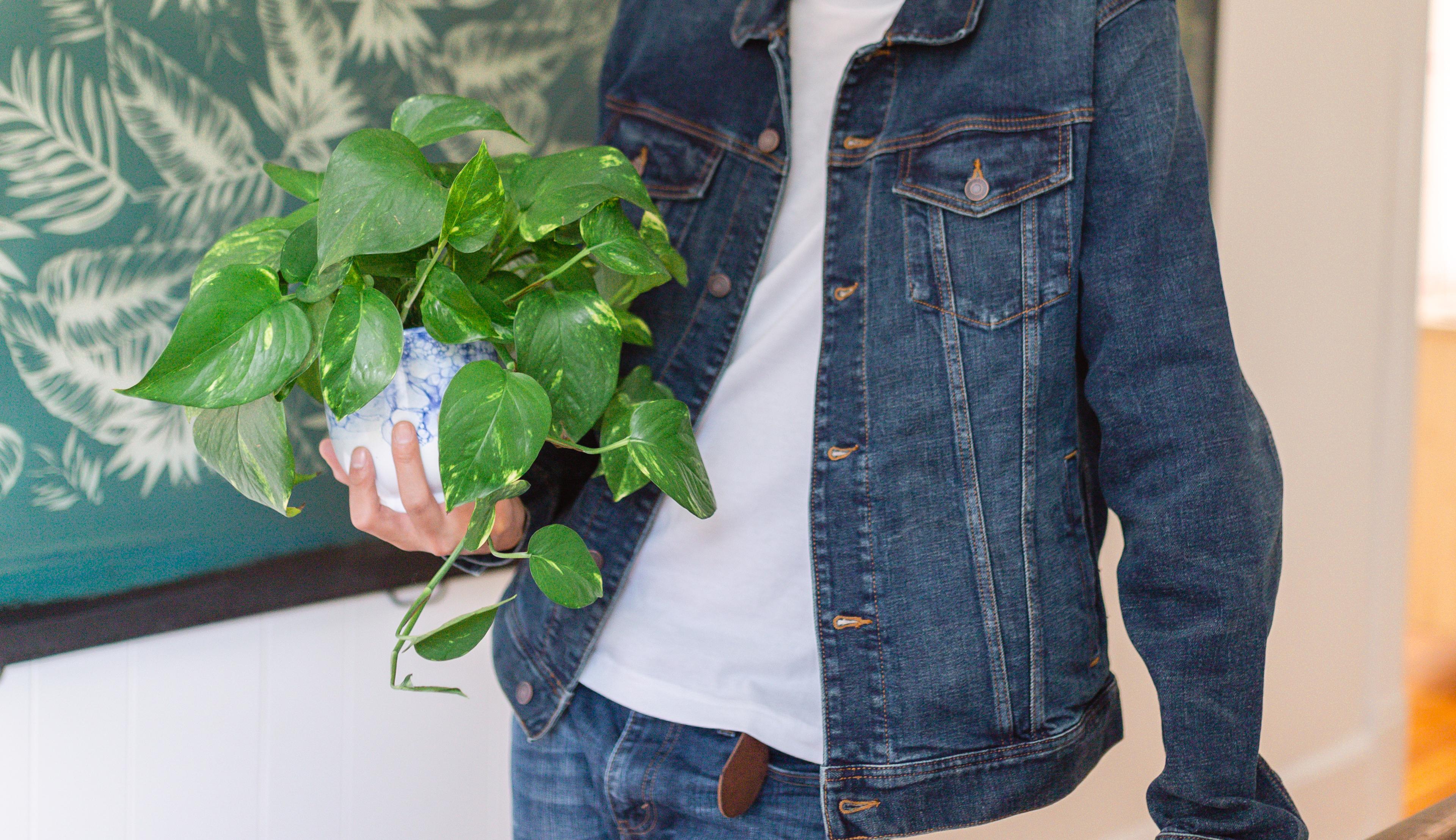 Man holding golden pothos indoor plant