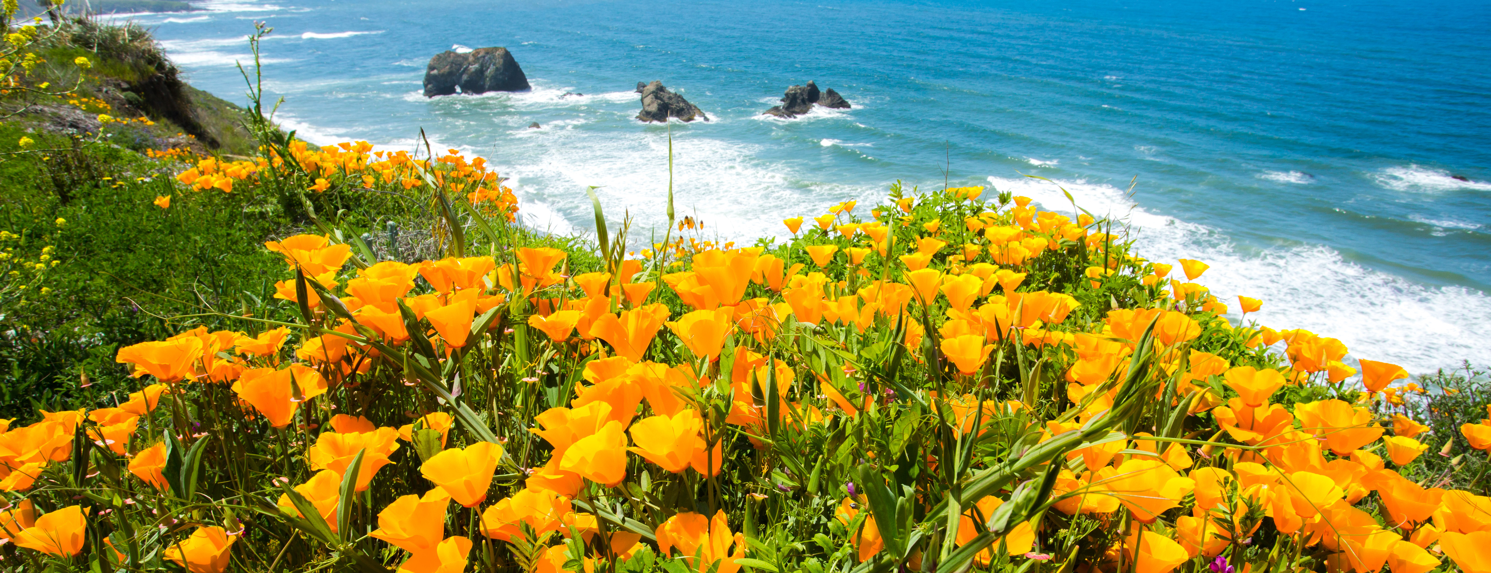 A field of poppy flowers over the ocean