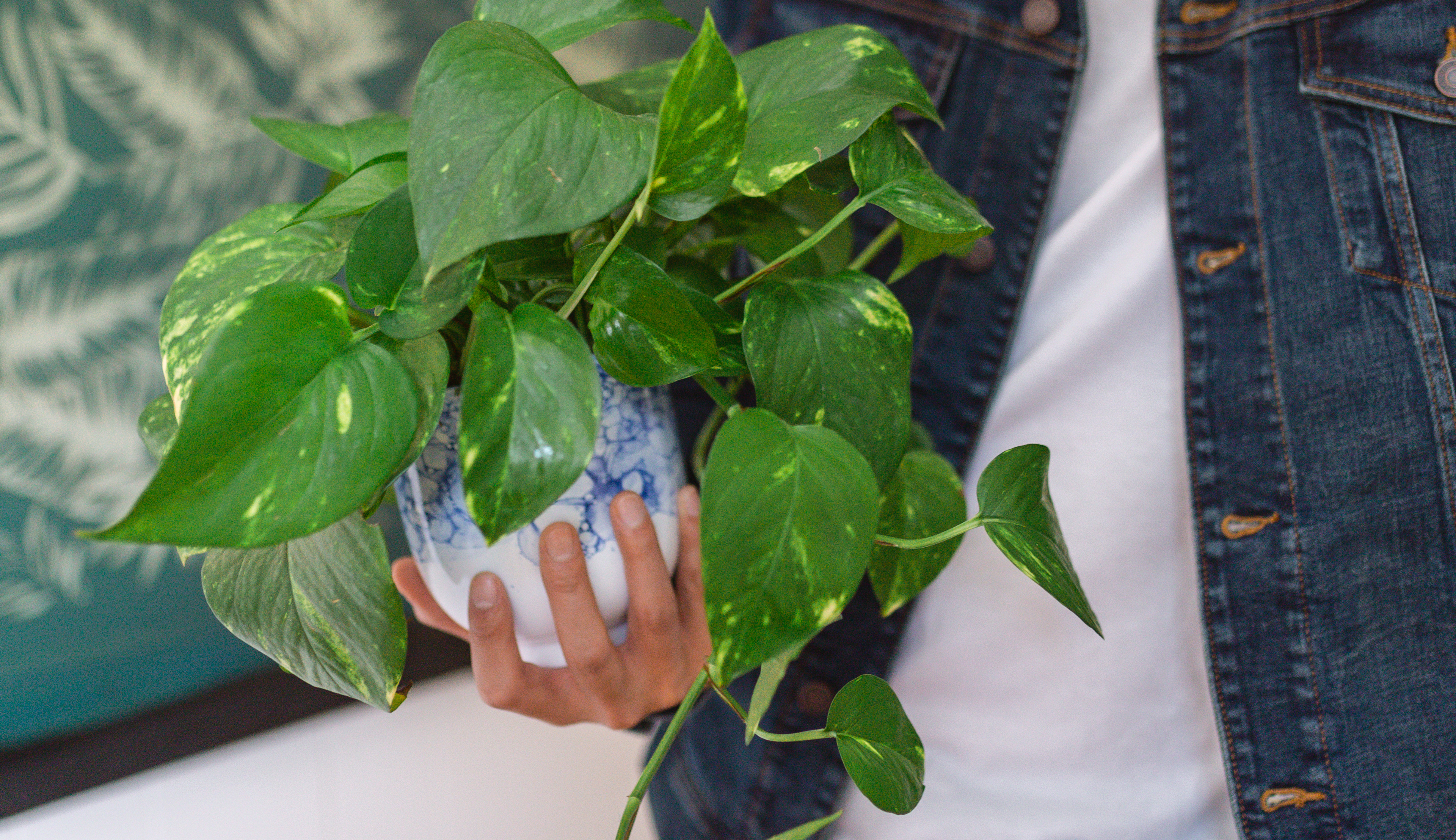 Close up of a golden pothos plant in a ceramic planter