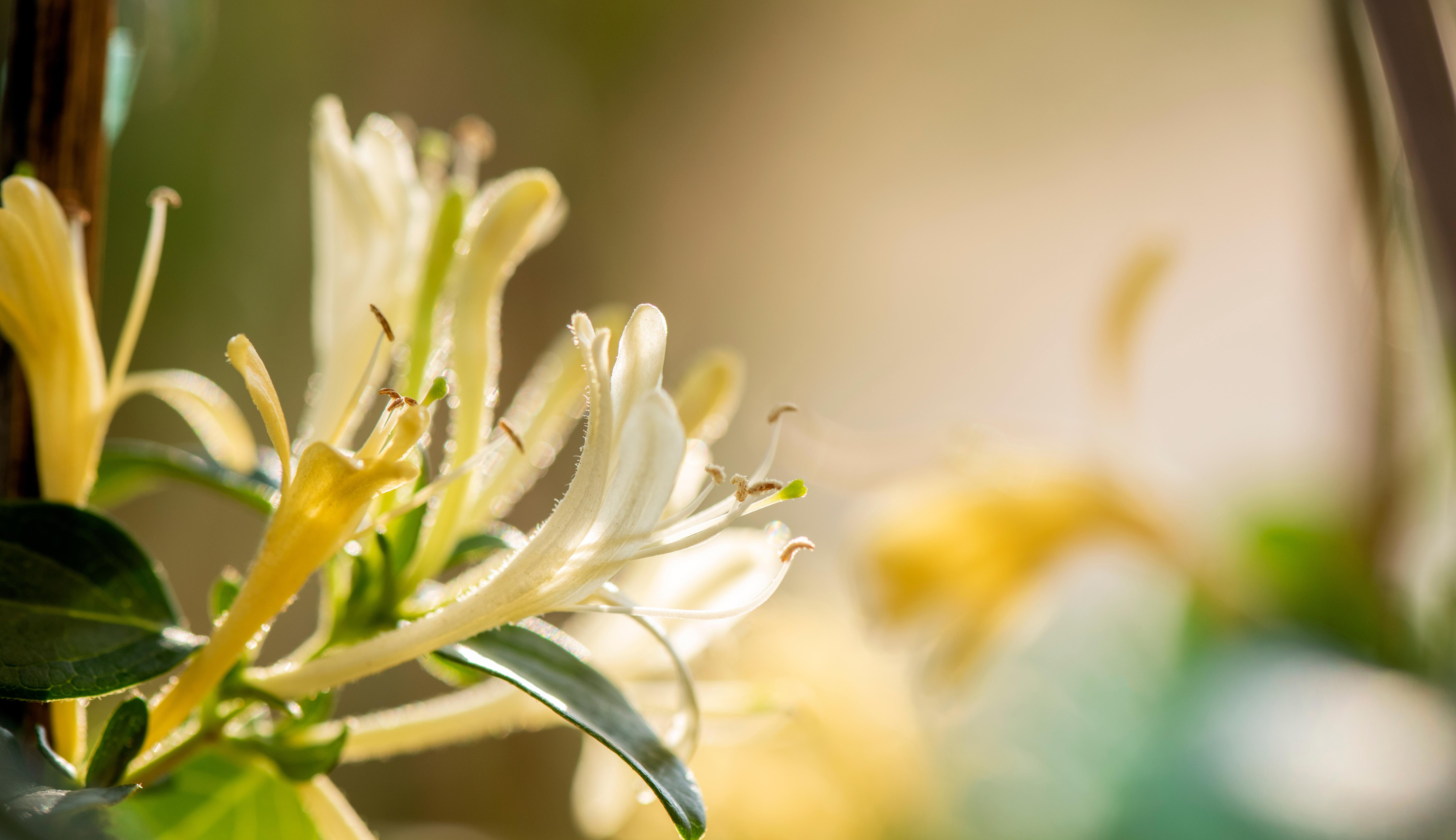 Yellow honeysuckle flowers over blurred background.