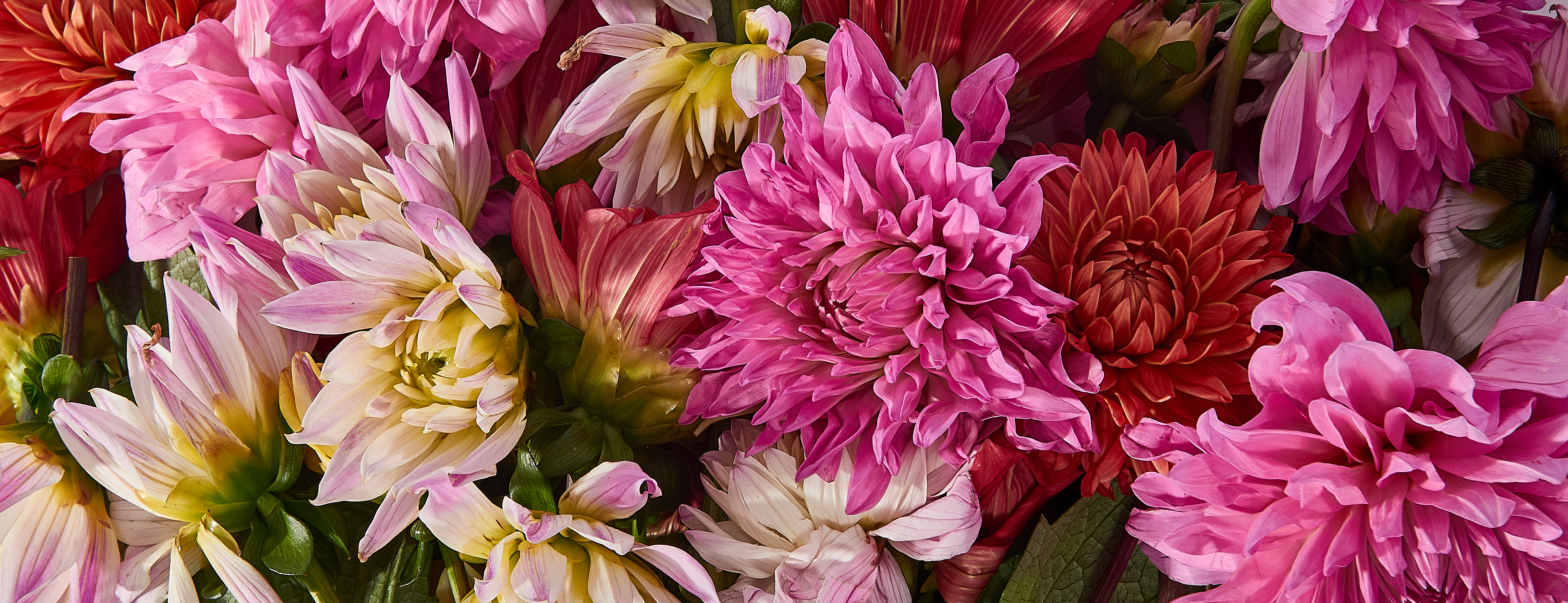 Multicolored dahlias in shades of pink and red
