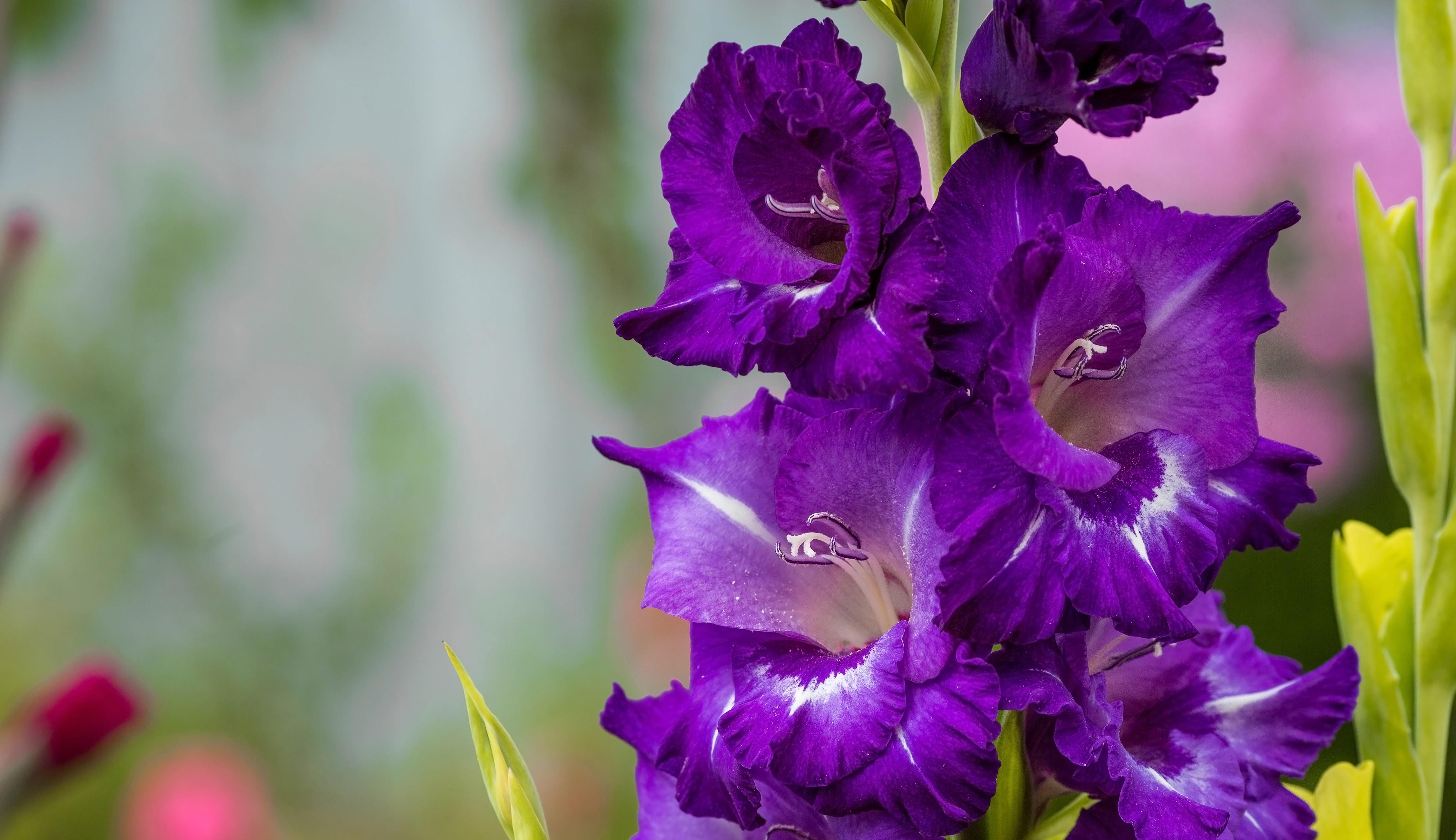 Deep purple gladioli flowers