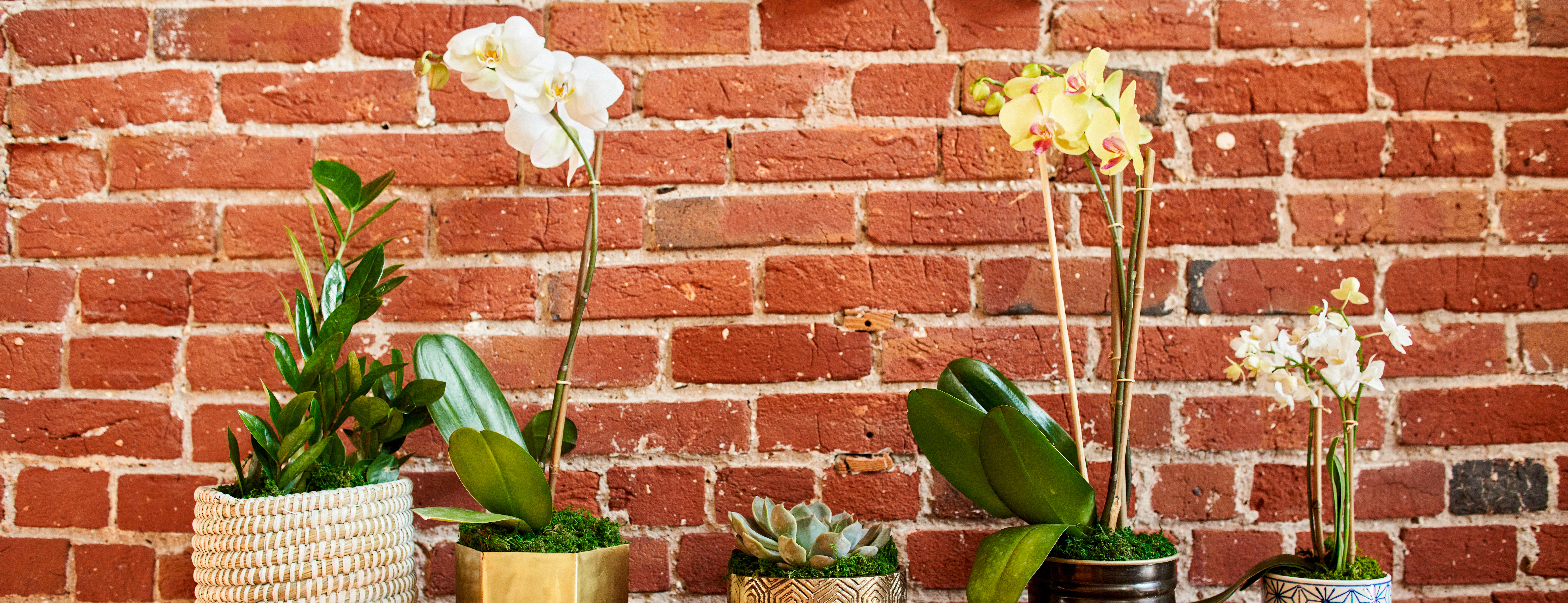 Orchid flowers and plants on table against brick wall.