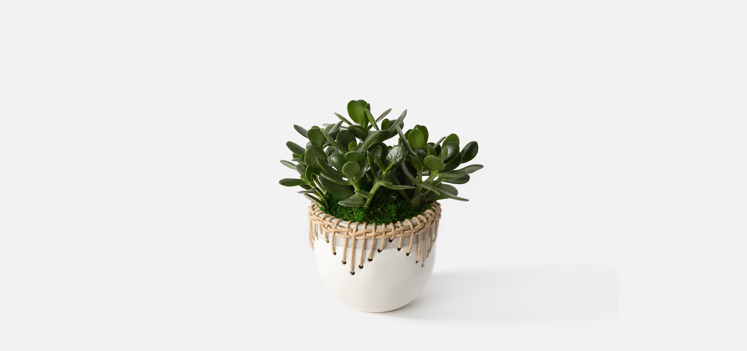 Jade plant succulent for Father's Day