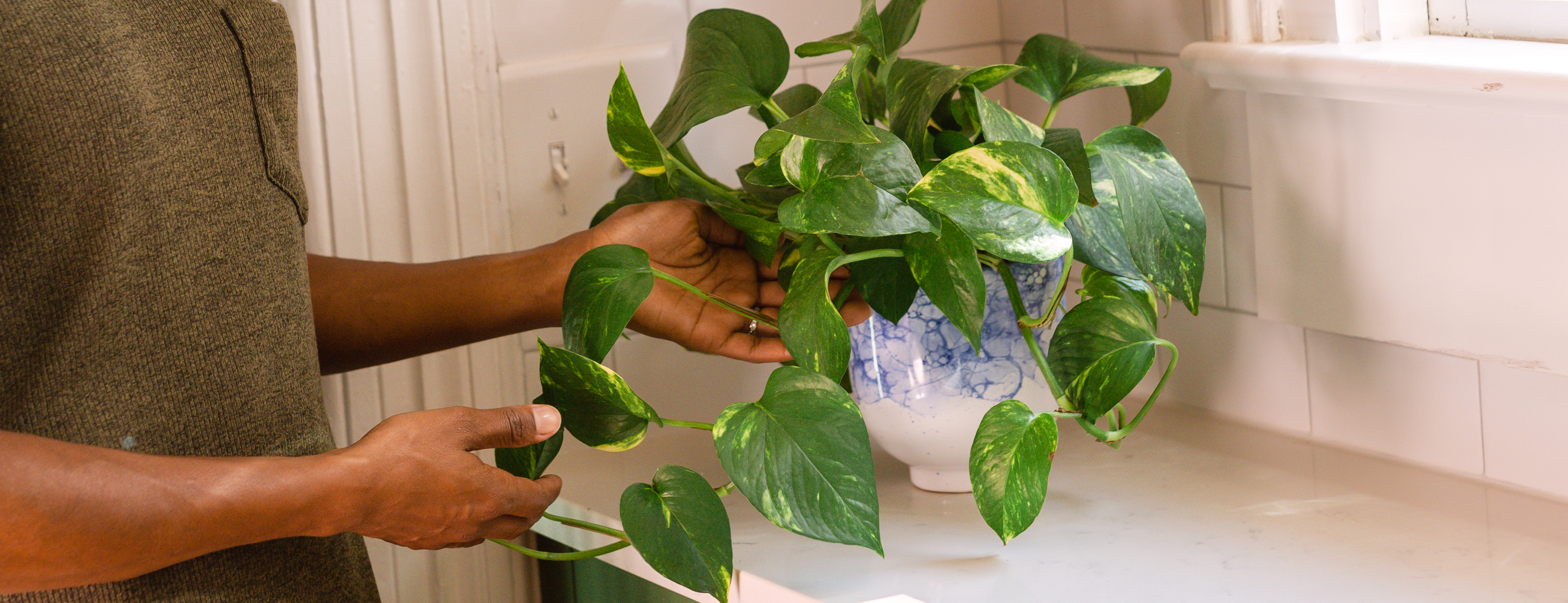Hands holding leaves of pothos plant