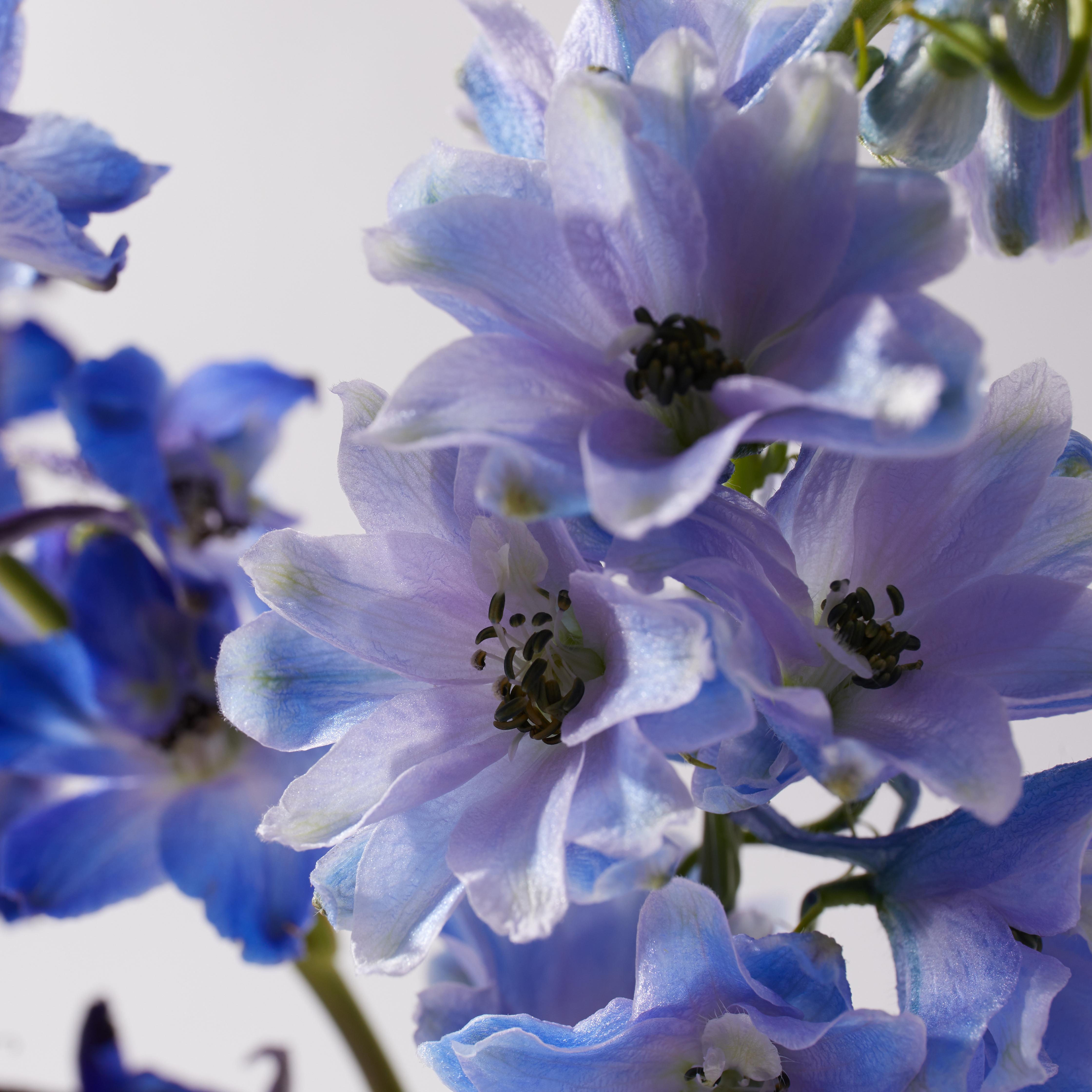 july-birth-flower-delphinium