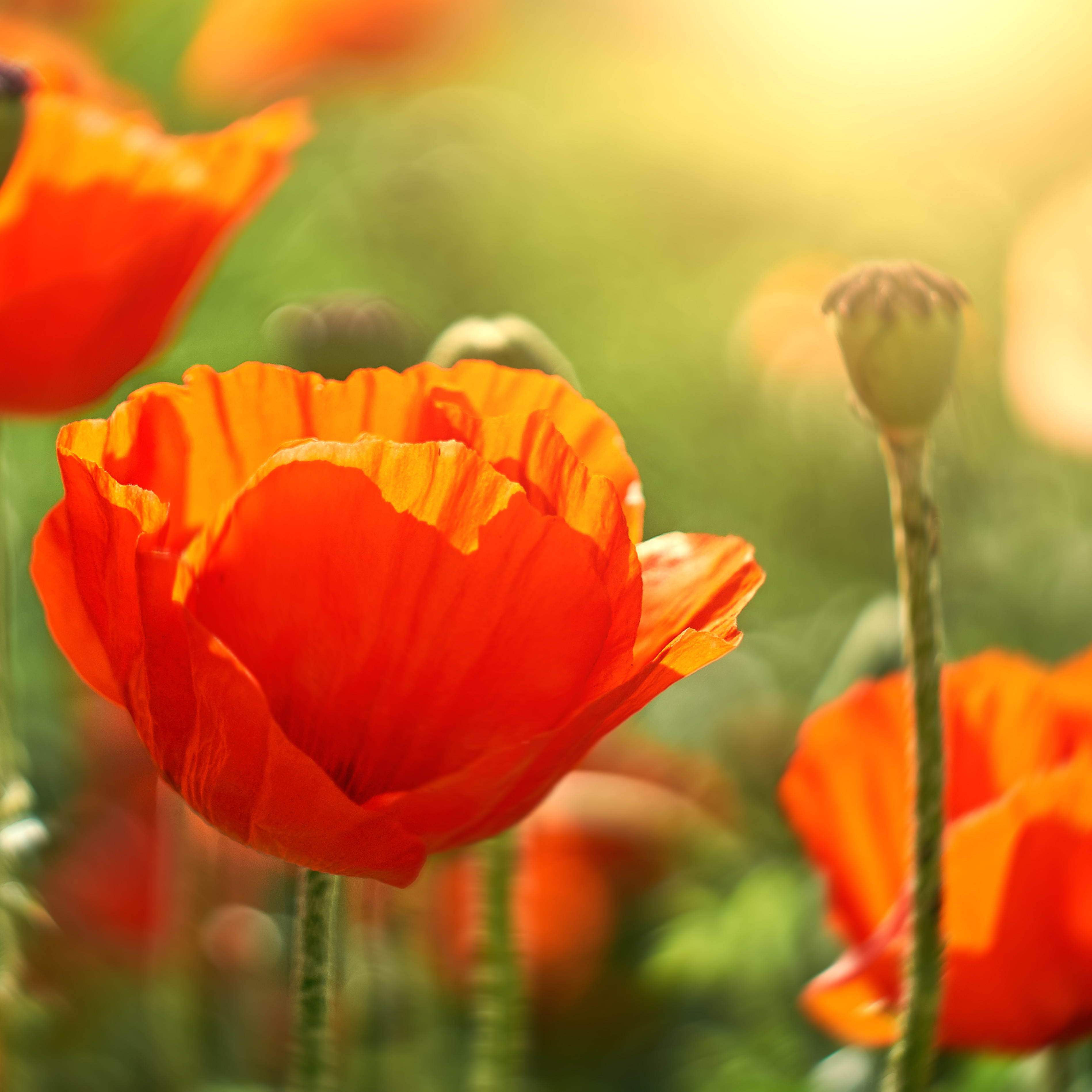 august-birth-flower-poppy